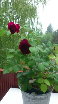 Nature (Rose on the balcony)